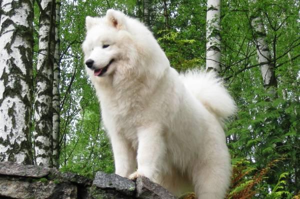 Лайки - одни из самых популярных охотничьих собак