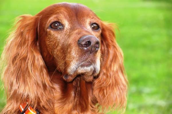 Отит наружного уха у собак