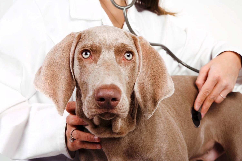 Как лечить чумку у собак в домашних условиях - HowToGetRid 89