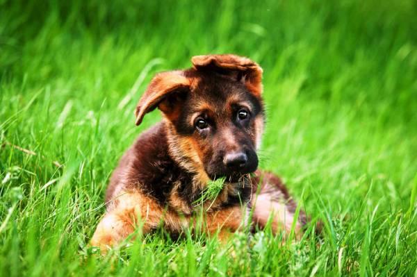 инфекции у щенят