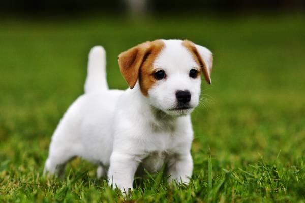 Карманные породы собак